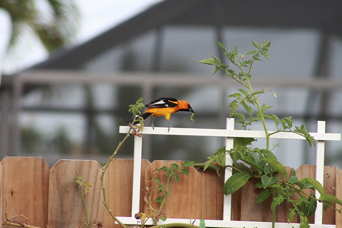 Spot Breasted Oriole
