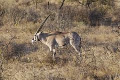 Beisa Oryx, Samburu, Kenya (helenglazer) Tags: animals kenya samburu beisaoryx