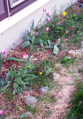 Tulips_51308mess