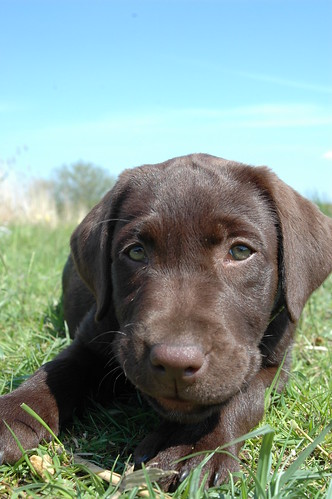 Chocolate puppy lab