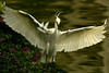 Arriving... (SHAAABAM!) Tags: southchinasea littleegret egrettagarzetta 80200mmf28d garçabrancapequena 77mmcircularpolarizingfilter inbali foundinnusadua inindonesia tôôt likeaballerina feitodançarina wingsinflight onbacklight