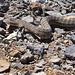 Tiger Rattle Snake
