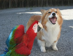 that was one good joke rani macaw ------ (1 of 6) (sansanparrots) Tags: friends red fruit corgi parrot pals eat macaw rani discover greenwingmacaw chowtime kaleycorgi loqual shrare