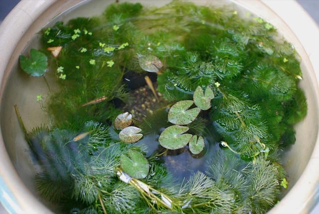 メダカの水草おすすめ人気ランキングTOP3・口コミ・種類