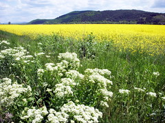 slovakia yellow 3 (kexi) Tags: flowers sky white green field yellow landscape spring nikon view many horizon may hills coolpix slovensko slovakia paysage 2008 easterneurope instantfave