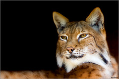 The Lynx Effect (andrewwdavies) Tags: england project focus soft leopard breeding softfocus captive effect rare lynx bigcats hertfordshire orton welwyngardencity canonef50mmf14usm santago canonextenderef14xii felislynx canonef70200mmf28lisusm canonextenderef2xii canoneos40d andrewwilliamdavies