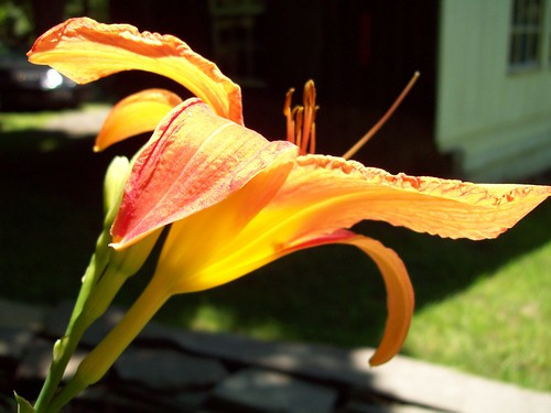Lily profile