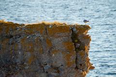 A17595 (davidnaylor83) Tags: ocean sea bird water animal twilight honeymoon sweden dusk seagull sverige gotland vatten hav stersjn djur fgel skymning ms commongull laruscanus mewgull thebalticsea brllopsresa fiskms digerhuvud