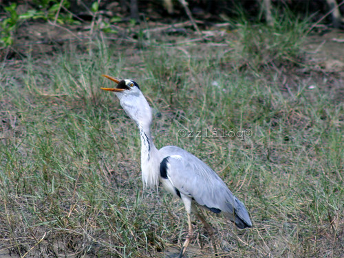 Grey Heron Swallowing Fish 3