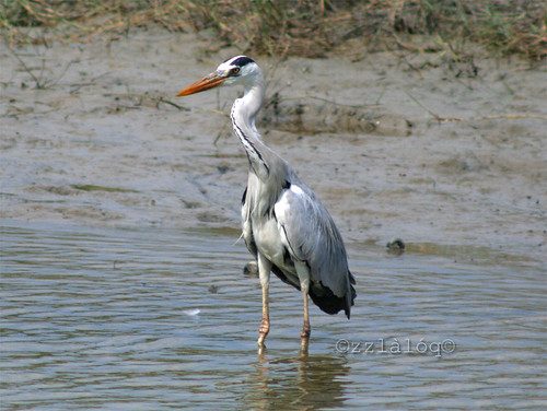 Grey Heron Swallowing Fish 5