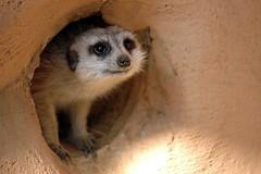 Meerkat - Suricate 01