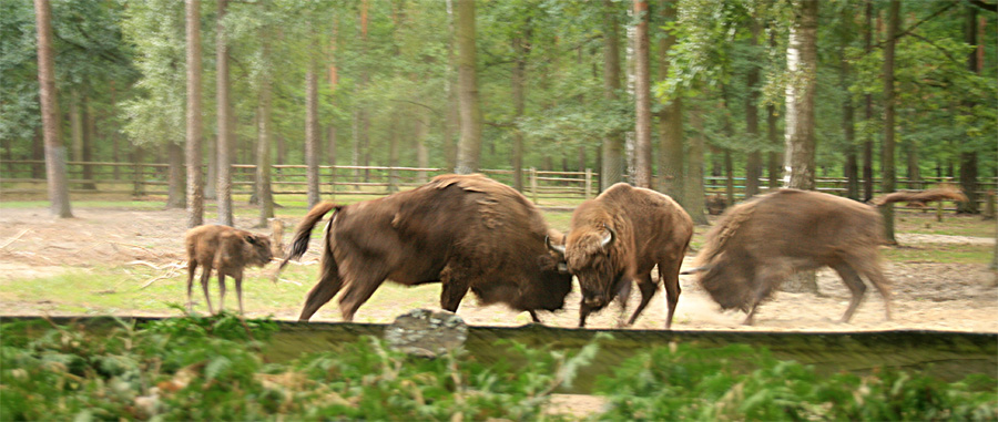 Polish bisons