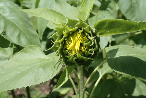 Birthing sunflower