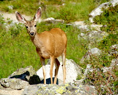 Gorp Deer - Grand Teton National Park (Al_HikesAZ) Tags: wild fauna 1025fav nationalpark hiking wildlife hike backpacking backcountry wyoming grandtetons tetons muledeer grandteton wy naturesfinest cascadecanyon cervidae gtnp 100v5f cervid alhikesaz tetons2008