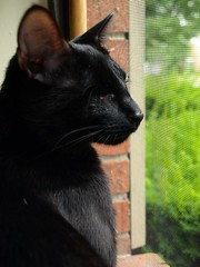 Stevie in profile, checking things out. (=Jessie=) Tags: window cat blackcat blind stevie oneeye oneeyedcat