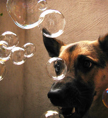Bubbles attack (Iris Syzlack (AKA Fifi Patchouli)) Tags: dog chien funny shepherd attack bubbles humour german fifi bulles allemand berger patchouli attaque fifipatchouli