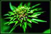 Quand la vie s'éclate (merlin600058) Tags: fleurs soe fineartphotos platinumphoto colorphotoaward ultimateshot theunforgettablepictures theperfectphotographer araquem panoramafotográfico
