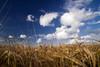 Goodbye Summer (Jos Mecklenfeld) Tags: summer holland field wheat thenetherlands groningen 2008 terapel westerwolde konicaminoltadynax5d superaplus aplusphoto flickrestrellas