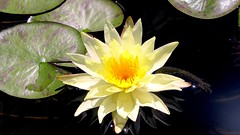 Yellow starlight ... (juntos ( MOSTLY OFF)) Tags: sunlight yellow waterlily great pointofview week starts starlight justonelook flowersandgardens mywinners almostanything overtheexcellence betterthangood goldstaraward macroflowerlovers yrpreferredpictures poweroftheflower flicklovers oraclex naturescreations masterpiecesonblack goldenmasterpiece truoureyestoyours