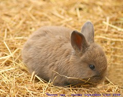 Cute factor overload...:O))) (law_keven) Tags: england cute rabbit bunny kent furry fluffy babyrabbit babybunny winghamwildlifepark