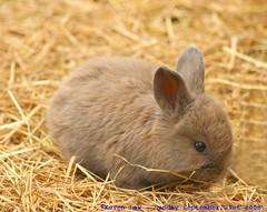 Cute factor overload...:O))) (law_keven) Tags: england cute rabbit bunny kent furry fluffy babyrabbit babybunny winghamwildlifepark