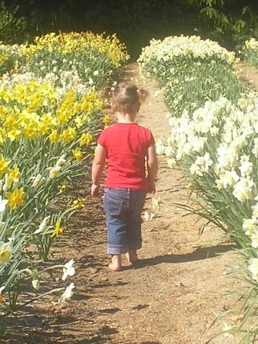 daffodilfarm2