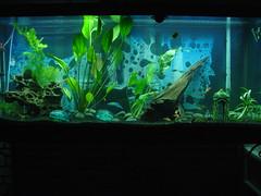aquarium fishtank freshwater plantedtank 55gallon