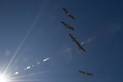 bird explosion (Nicola Zuliani) Tags: california light sky usa seagulls birds sandiego nizu nicolazuliani nnusa wwwnizuit
