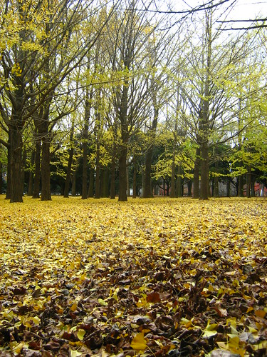 Golden leaves of ginko trees in Yoyogi Park 4
