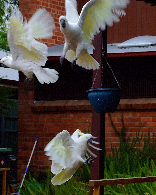 cool cockatoos