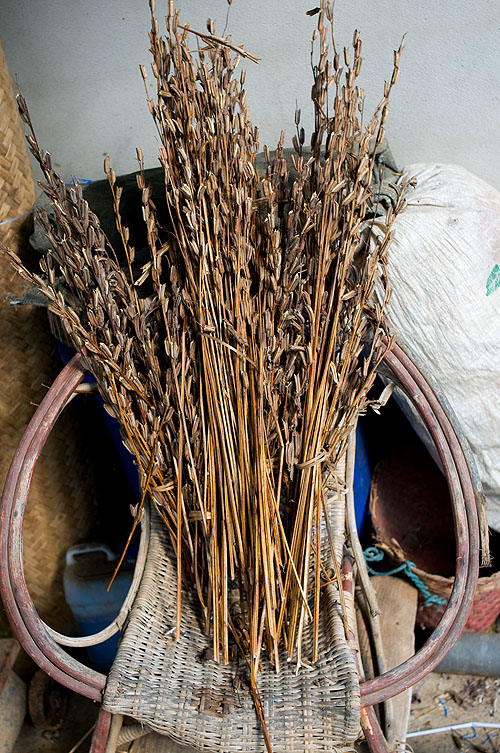 Dried sesame plants, Pang Muu, Mae Hong Son, Thailand