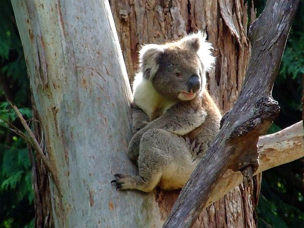 cute koala 01