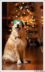 Christmas Maya (Jesse James Photography) Tags: christmas xmas dog pet goldenretriever nikon bokeh christmastree retriever christmaslights adobelightroom strobist nikond300