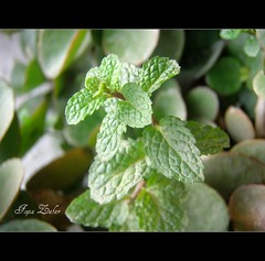 Gorgeous green (Dreaming ...) Tags: green sweet mint mintleaves pudina gorgeousgreen sweetgreen colorsofpakistan