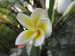 Frangipani Flower (Amol Kharche) Tags: flower plumeria frangipani champa chafa