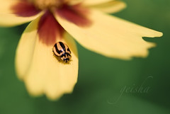 i am a growing force you kept in place... (~ geisha ~) Tags: ladybug anytime ordudebug whoistoknow thanksclaireforthetestamonialyoureasweetheart