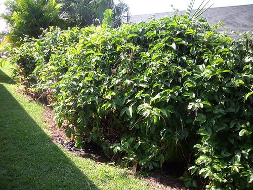 debi's lilikoi plants