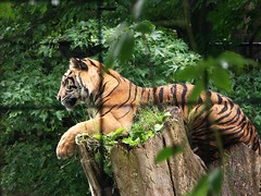 Sumatran Tiger (PennyPiX USA) Tags: tiger sumatrantiger