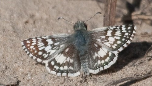 Checkered-Skipper