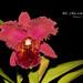 Brassolaeliocattleya Chia Lin 'Red Rose'