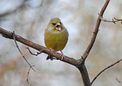 Greenfinch, Carduelis chloris, Yawning, RSPB Old Moor, Barnsley (Steve Greaves) Tags: black tree male bird nature yellow branch bokeh wildlife feathers yawn aves naturalhistory naturereserve tired greenfinch avian carduelischloris brampton yawning barnsley olivegreen southyorkshire plumage rspb europeangreenfinch wombwell chlorischloris oldmoor dearnevalley nikonafsvr70300f4556gifed nikond300