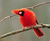 Cardinal Three Ways...Way Two (ozoni11) Tags: bird nature birds animal animals interestingness nikon cardinal 45 explore cardinals columbiamaryland d300 passerine passerines wildelake interestingness45 i500 michaeloberman explore45 ozoni11