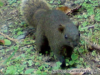 Fat Squirrel 2