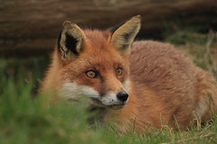 still concentrating (felt_tip_felon) Tags: portrait nature mammal looking wildlife ears fox stare bwc redfox vulpesvulpes britishwildlifecentre