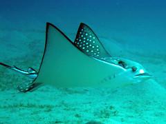 Eagleray (blichb) Tags: ray egypt scuba gypten eagleray tauchen rochen adlerrochen heavensaphir marsamubarak blichb