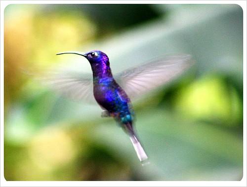 Hummingbird monteverde