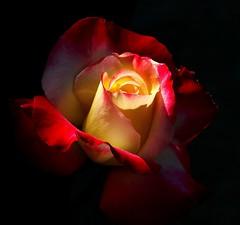 heartbeat (ranchodon) Tags: red rose stunning colorphotoaward mimamorflowers flowerthequietbeauty