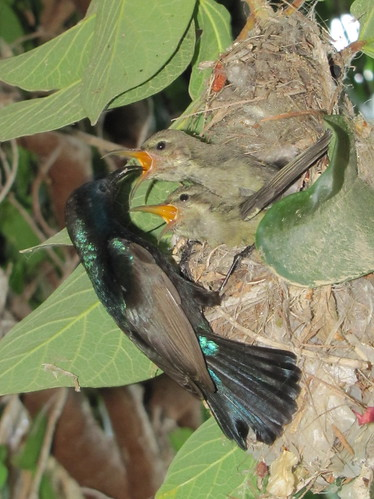 Papa Sunbird feeds his babies