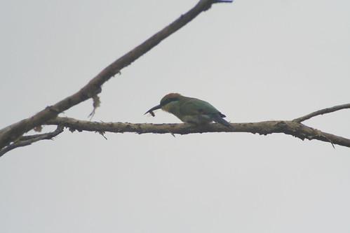 Rainbw Bee-eater