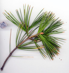 Pinus bungeana (maggie_and_her_camera) Tags: plants horticulture maggieneely